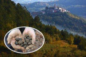 Zbiory trufli Istria Źródło: IstraNova Travel Agency