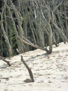 Martwy las - wydmy w Łebie
