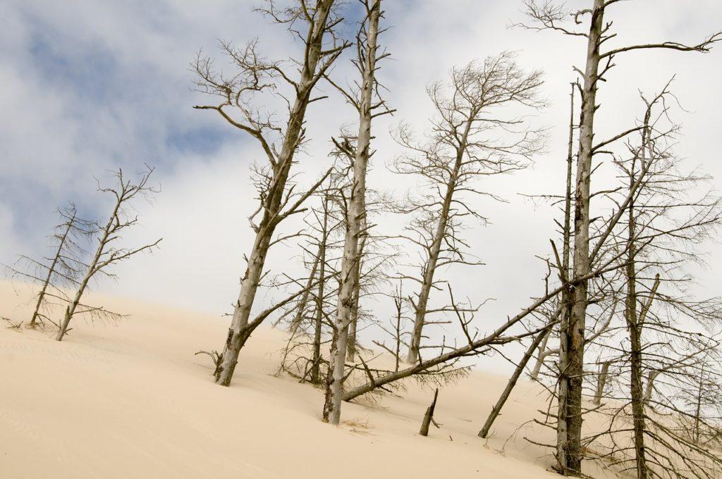 Wydmy - Martwy las